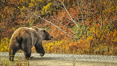 The Grizzly that walked out behind our bus (shown in an earlier album), as it headed off the road and into the hills.