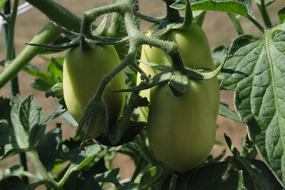 July 26, 2009:  The romas are growing much slower.  Makes me nervous about when they will turn red.  But the littler ones are catching up to the biggest one!