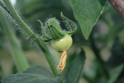 July 19, 2009: When I was crouched next to the pots taking pictures of the Romas, I glanced over to see this little globe making an effort at fruitfulness.  Go, tomato! Go!  You can do it!