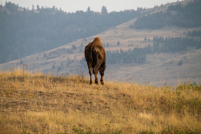 A bison cow not in the best of shape