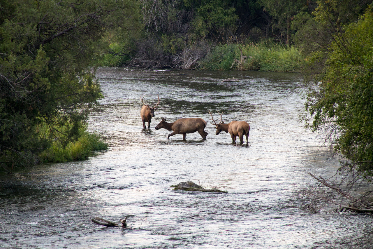 Elk in Mission Creek