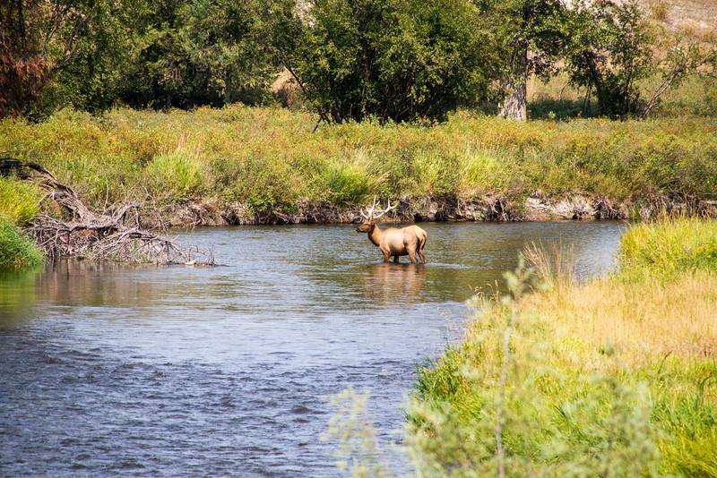 Elk in Mission Creek
