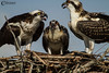 The Ospreys (Pandion Haliaetus)