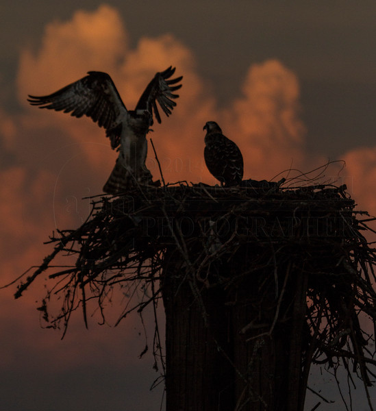 Late Night With The Ospreys (Pandion Haliaetus)