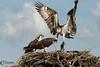 The Ospreys (Pandion Haliaetus)