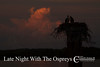 Late Night With The Ospreys (Pandion Haliaetus)