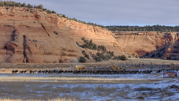 Elk herd on hay field