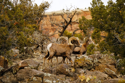 Desert bighorn sheep rams