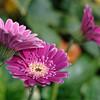 Barberton daisy flowers, closeup II