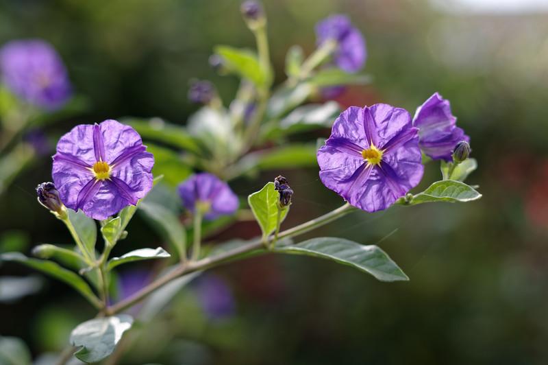 Sunlit flowers on a blue potato bush