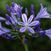 Agapanthus, lit by afternoon sun