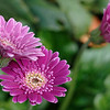 Barberton daisy flowers, closeup I