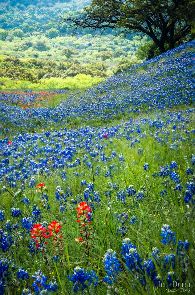 Packsaddle Bluebonnets 2018 Portrait