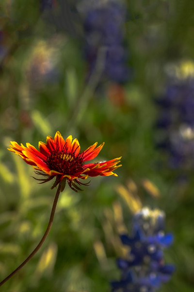 Single Glowing Indian Blanket
