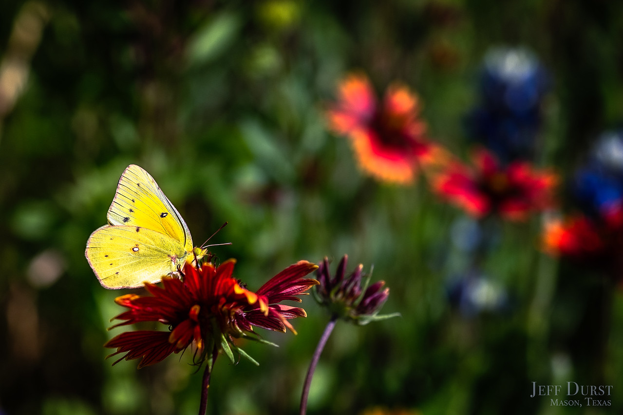 Yellow Butterfly on Indian Blanket