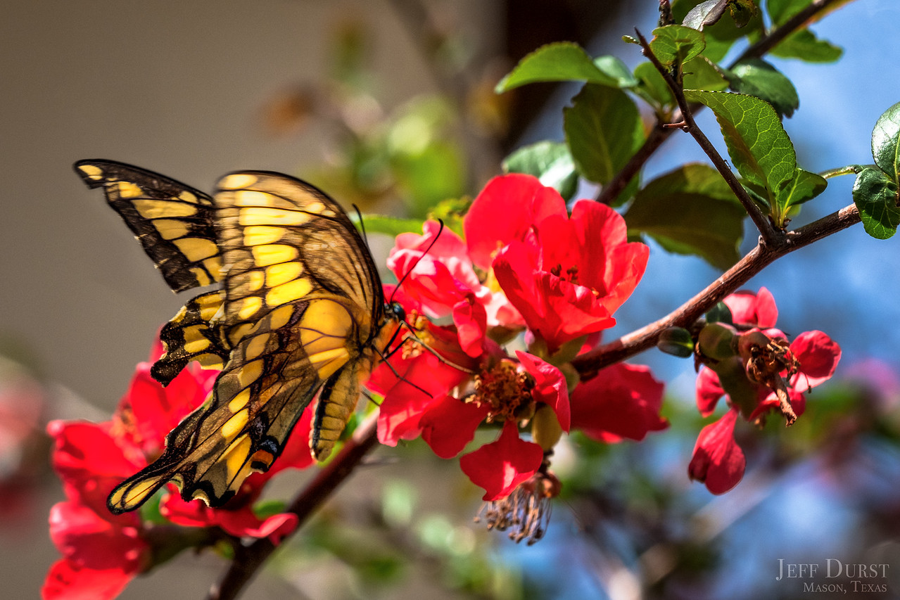 Tiger Swallowtail on Quince