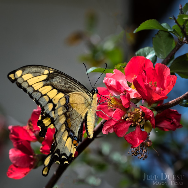 Tiger Swallowtail on Quince Square