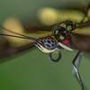 Giant Swallowtail-Macro