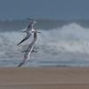 Twin Tern