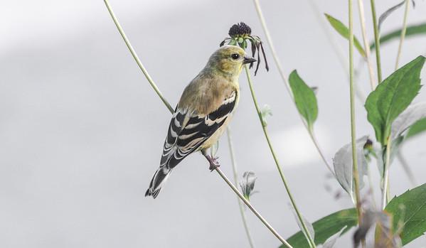 Goldfinch in autumn garden