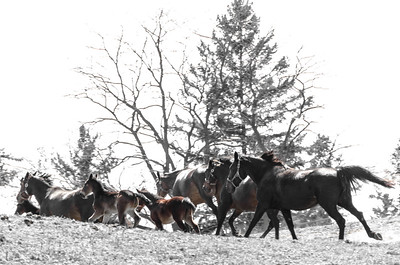Stampede  in black and white tint