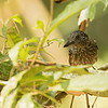 Black-hooded Antshrike, female