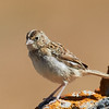 Juvenile Grasshopper Sparrow