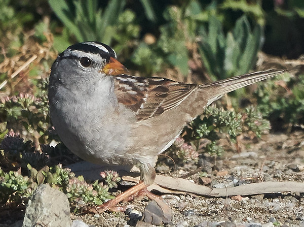 White-crowned Sparrow (gambellii)