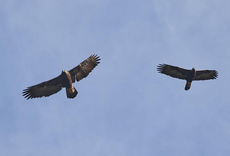 A Pair of Golden Eagles Soaring Together