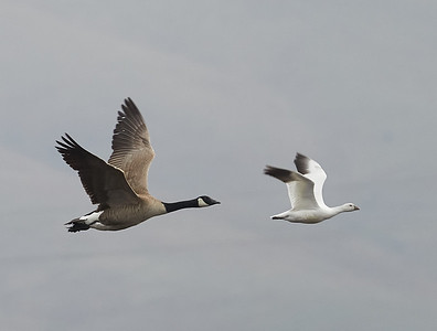 Ross's Goose with Canada Goose, in Flight