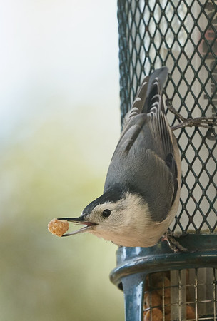 White-breasted Nuthatch with Suet Pellet