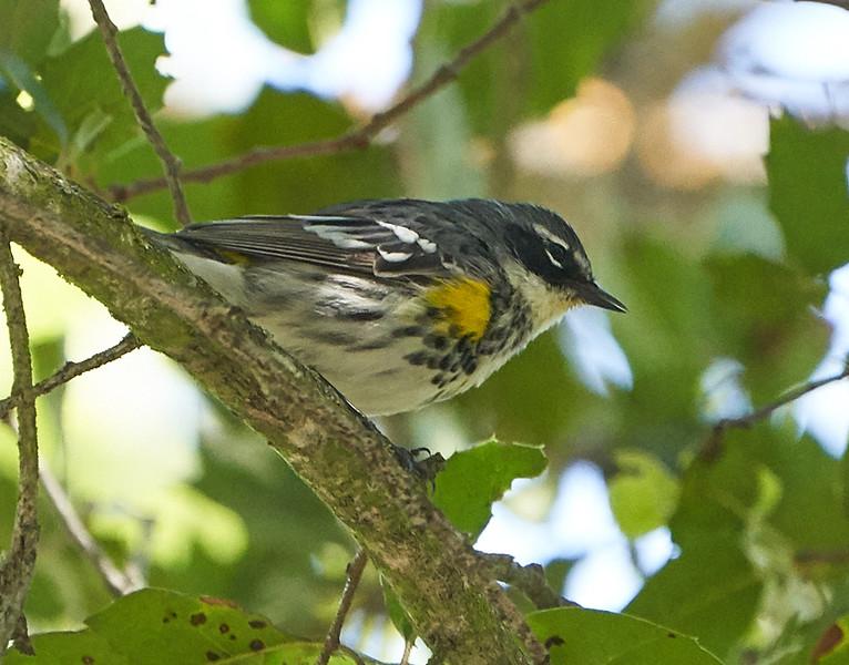 Yellow-rumped Warbler (Myrtle's)