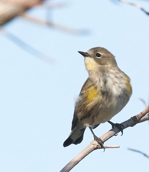 "Yellow-rumped Warbler ""Audubon's"""
