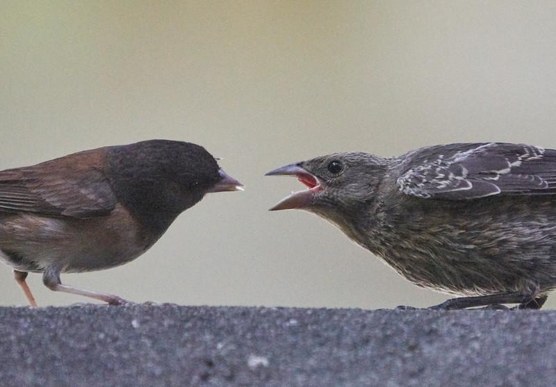 Dark-eyed Junco Feeding a Juvenile Cowbird