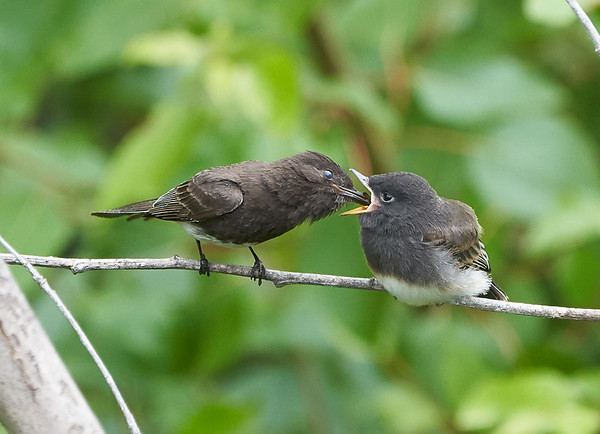Black Phoebe Parent Feeds its Young