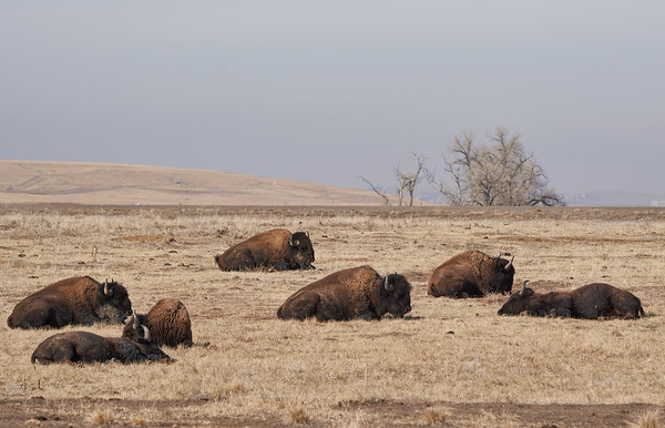 Group of Bison