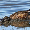 Northern Shoveler Skimming for Brine Flies