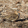 Harris's Sparrow (1st winter)