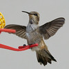 Black-chinned Hummingbird (young male)