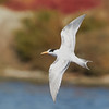 Juvenile Elegant Tern