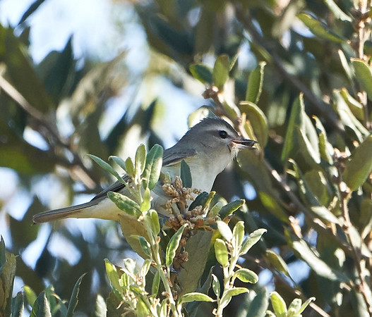 Warbling Vireo with Insect