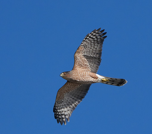 Cooper's Hawk (Adult Male)