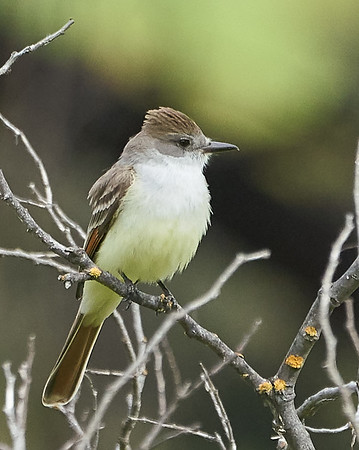 Ash-throated Flycatcher (my FOS)