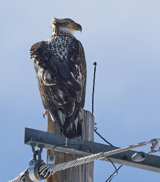 Bald Eagle (3rd Year)