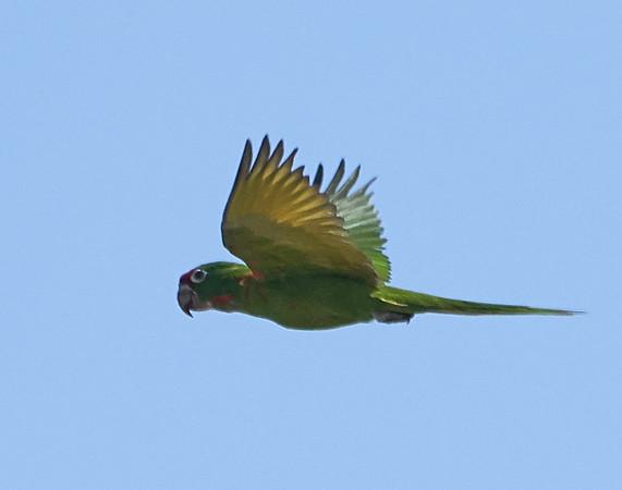 Mitred Parakeet in Flight