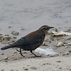 Rusty Blackbird (Life Bird)