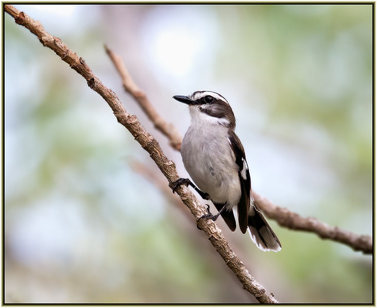 White-browed Robin