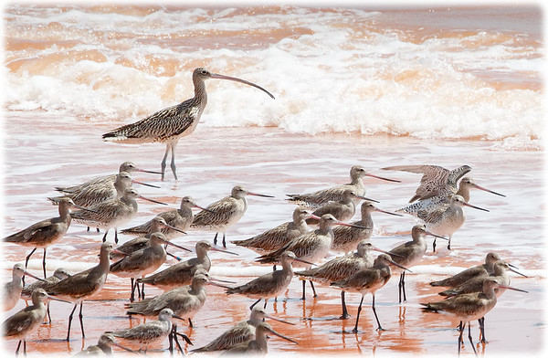 Far Eastern Curlew, Bar-tailed Godwit, Black-tailed Godwit, Great Knot