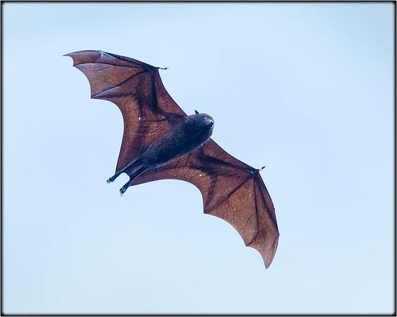 Christmas Island Fruit-bat