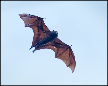 Christmas Island Fruit-bat